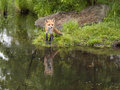 Red fox with reflection beautiful Royalty Free Stock Photo