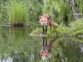 Red fox reflection beautiful with in lake in a secluded area Royalty Free Stock Images
