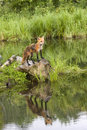 Red fox reflection on rock in the middle of a quiet river Stock Photography