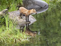 Red fox reflection young stands on a rock by the river with Stock Photo