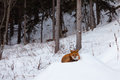 Red fox resting spot in winter snow forest Royalty Free Stock Photo