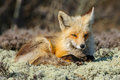 Red fox a rests on a patch of lichen on a jersey shore sand dune Stock Photography