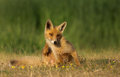 Red fox sits on the gras Royalty Free Stock Images