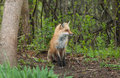 Red fox sitting back yard Stock Image