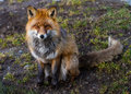 Red fox sitting on the ground a and watching Stock Photography