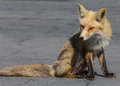 Red fox a sitting on a street Royalty Free Stock Photo