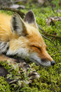 Red fox sleeping a sleeps on a bed of moss in algonquin provincial park ontario canada Royalty Free Stock Photo