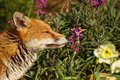 Red Fox Smelling The Flower