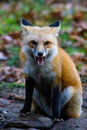 Red fox snarl snarling seated with ears back Stock Images