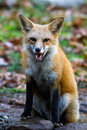 Red fox snarl snarling seated with ears forward Royalty Free Stock Photo