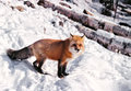 Red fox on the snow Stock Photos