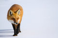 Red fox in snow a walks across freshly fallen Stock Images