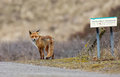 Red fox standing next to a board no trespassing Stock Photos