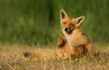 Red fox stands on green gras Royalty Free Stock Image