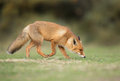 Red fox stands on green gras Stock Photo