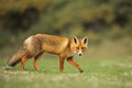 Red fox stands on green gras Royalty Free Stock Photography