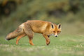 Red fox stands on green gras Royalty Free Stock Photos
