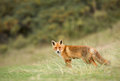 Red fox stands on green gras Stock Photos
