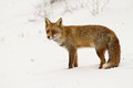 Red fox stands in a winterlandscape Royalty Free Stock Photography