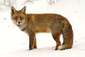 Red fox stands in a winterlandscape Stock Photography