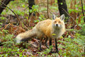 Red fox stare a male has a down in algonquin provincial park ontario canada Stock Photography