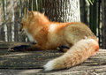Red fox staring away from camera closeup of a resting on a log Royalty Free Stock Images