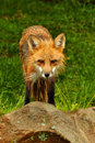 Red fox staring at the camera is Royalty Free Stock Photos