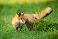 Red fox stick it's tongue out Royalty Free Stock Photo