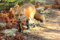 Red fox a strolls through the moss in algonquin provincial park ontario canada Royalty Free Stock Photography