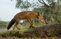 Red fox swalks over a fallen tree Royalty Free Stock Image