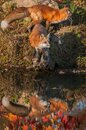Red Fox  Vulpes vulpes on Rock Another Runs Behind Reflected Autumn Royalty Free Stock Photo
