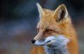 Red fox Vulpes vulpes in Autumn in Algonquin Park Royalty Free Stock Photo