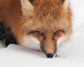 Red fox vulpes vulpes close up captive animal Stock Images