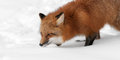 Red fox vulpes vulpes creeps left through snow captive animal Stock Photography