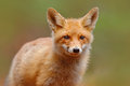 Red Fox, Vulpes vulpes, cute portrait of orange animal at green forest Royalty Free Stock Photo