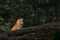 Red fox Vulpes vulpes in the fall in Algonquin Park Royalty Free Stock Photo