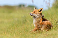 Red fox vulpes vulpes in its natural habitat Royalty Free Stock Photo
