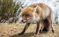 Red fox (Vulpes vulpes) leering Royalty Free Stock Photo