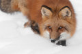 Red fox vulpes vulpes looks left captive animal Royalty Free Stock Photography