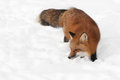 Red fox vulpes vulpes looks left in snow captive animal Royalty Free Stock Photography