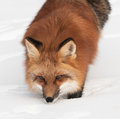 Red fox vulpes vulpes looks up from snow captive animal Stock Photography