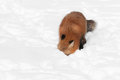 Red fox vulpes vulpes with nose in snow captive animal Stock Photo