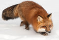 Red fox vulpes vulpes prowl captive animal Royalty Free Stock Images