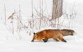 Red fox vulpes vulpes prowls snow captive animal Stock Image