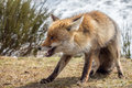 Red fox (Vulpes vulpes) ready to fight Royalty Free Stock Photo