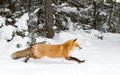 Red fox Vulpes vulpes running through the snow in winter in Algonquin Park in Canada Royalty Free Stock Photo