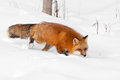 Red Fox (Vulpes vulpes) Runs Through Snow Eyeing Viewer Stock Photos