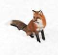 Red fox vulpes vulpes sits looking left in snow captive animal Royalty Free Stock Images