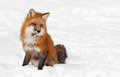 Red fox vulpes vulpes sits peacefully in snow copy space right captive animal Stock Photos
