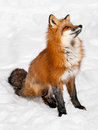 Red fox vulpes vulpes sits snow looking up captive animal Stock Photography